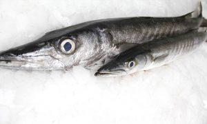 Barracuda presented on ice