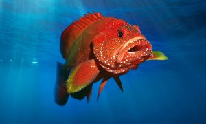 Grouper in the open sea