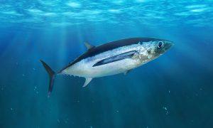 Albacore in the open sea