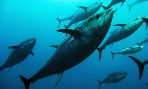 Bigeye tuna in the open sea