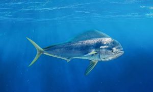 Mahimahi in the open sea
