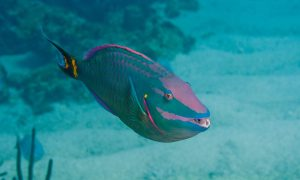 parrotfish in the open sea